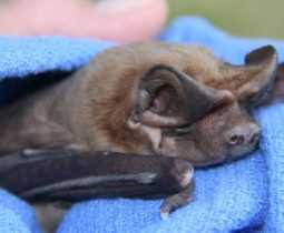 bonneted flying bat