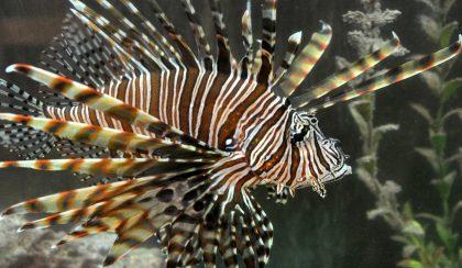 hero-lionfish
