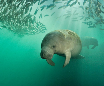 Manatee swimming near school of fish