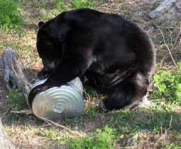 Black Bear standing on garbage can