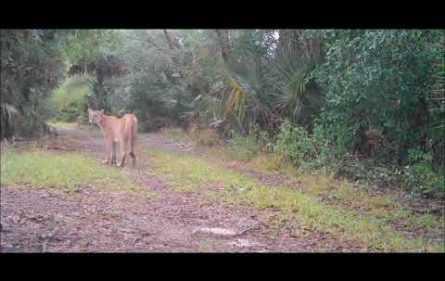 Florida Panther cam