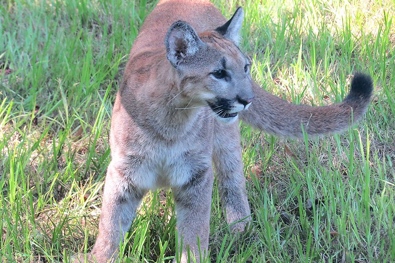 Florida Panther standing in grass