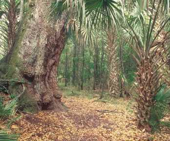 Palm trees in Florida forest