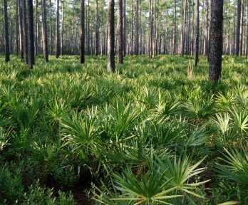 Palms & Trees Osceola National Forest